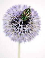 workshop image - fiddler beetle