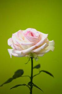 rose at Sydeny Royal Easter Show